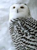 owlwhite Fotografering för Bildbyråer