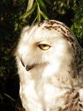 owlwhite Royaltyfri Foto