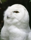owlwhite Royaltyfri Fotografi