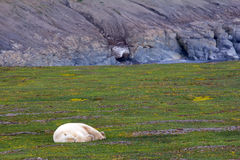 Owner of Arctic polar bear Stock Photography