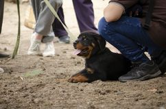 Cute rottweiler puppy at the first training session stock photography