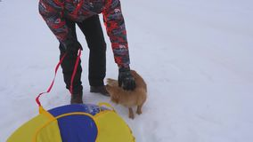 Owner caresses dogs on winter walk. Mother dog and puppy are walking on white snow with happy m n on frosty day. Man. Playing with dog. Pets stock video footage