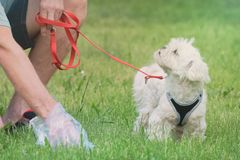 Picking up dog poop. Owner cleaning up after the dog with plastic bag royalty free stock images