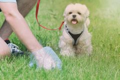 Picking up dog poop. Owner cleaning up after the dog with plastic bag royalty free stock photo