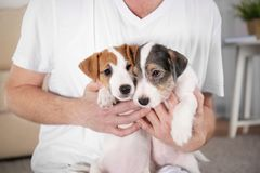 Owner with cute funny dogs at home. Closeup royalty free stock image