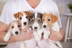Owner with cute funny dogs at home,. Closeup royalty free stock images