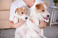 Owner with cute funny dogs at home,. Closeup stock photo