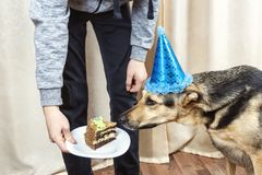 The owner of the dog treats a big dog with a piece of cake stock photography