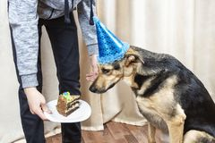 The owner of the dog treats a big dog with a piece of cake.  stock image