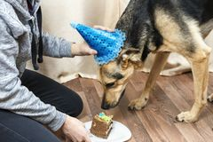 The owner of the dog treats a big dog with a piece of cake stock images