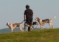 Owner exercising Hounds before race Stock Photography