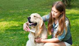 Owner girl combing wool golden retriever in the park. The content of Labrador. A young girl cares for dog fur outdoors. Hygienic procedures. The owner of a pure Stock Photography