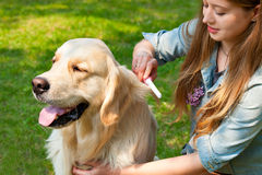 Owner girl combing wool golden retriever in the park. The content of Labrador. A young girl cares for dog fur outdoors. The owner of a pure breed dog fur golden Royalty Free Stock Image