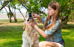 Owner girl combing wool golden retriever in the park.. Human friendship and dogs. Hygienic procedures. The content of Labrador. A young girl cares for dog fur Stock Image