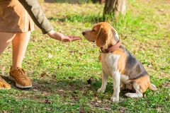 The owner gives a treat to the beagle dog for a walk in the park royalty free stock images