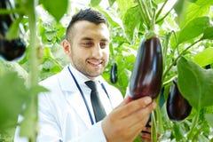 Growing eggplants Royalty Free Stock Photography