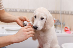 Owner grooming his dog at home Royalty Free Stock Images