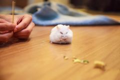 The owner hand feeds Cute white Winter White Dwarf Hamster with pet food. The Winter White Hamster is also known as Winter White D. Warf, Djungarian or Siberian royalty free stock images