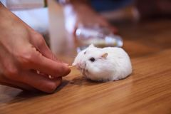 The owner hand feeds Cute white Winter White Dwarf Hamster with pet food. The Winter White Hamster is also known as Winter White D. Warf, Djungarian or Siberian stock photos