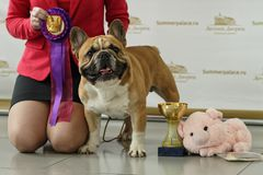 Owner with her bulldog on the dog show Royalty Free Stock Photography