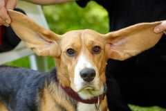An owner holds up his beagle dogs long, floppy ears.  royalty free stock photography