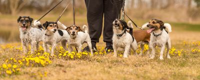 Owner with many Jack Russells in spring on a blooming meadow stock photography