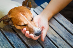Owner petting dog Royalty Free Stock Image