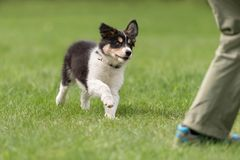 Owner is playing with his border collie puppy. stock photos