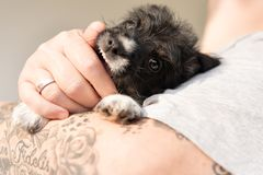 Owner is playing with his young Jack Russell puppy dog and is wearing it. pup 7.5 weeks old royalty free stock photo