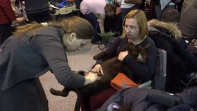 Owner prepares dog to the show stock video footage