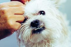 Owner is preparing Maltese puppy skin after shower stock image