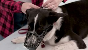 Dog with muzzle. Owner puts on muzzle on dog. Finished vet medical checkup. Pet care concept stock footage