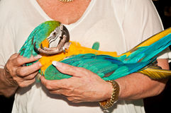 Owner rocks her blue and gold macaw rescued parrot. At a rescue facility Stock Image