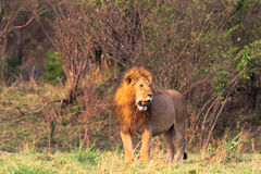 The owner of the savannah. Masai Mara Royalty Free Stock Images