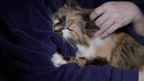 The owner strokes the ginger cat on the back. a happy cat lies and holds its owner`s robe with its teeth. close-up of the animal