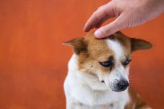The owner strokes his dog on the head. She sits and looks pitifully down, because she feels guilty. Concept of animal emotion Royalty Free Stock Photography
