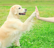 Owner training Golden Retriever dog on grass, giving paw Royalty Free Stock Images