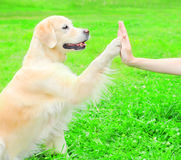 Owner is training Golden Retriever dog on the grass in park Stock Photo