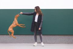 Owner trains the dog. girl playing with a beautiful young dog against the background of the wall. The owner trains the dog. A girl playing with a beautiful young stock images