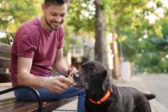 Owner treating his brown labrador retriever with ice-cream. Outdoors royalty free stock photography