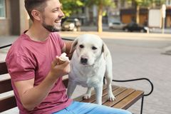 Owner treating his yellow labrador retriever with ice-cream. Outdoors stock images