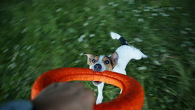 Owner turns the dog in the ring. The owner is circling your little dog breed the Jack Russell Terrier on a bright ring. Close-up stock video footage