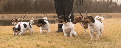 Owner walk with many dogs at the leash - jack russell terrier. Pack stock photography