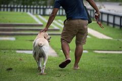 Owner walk and touch labrador retriever head. Happy owner walk with adorable Labrador retriever dog and cuddle or stroke its head in greenery park. The concept Royalty Free Stock Image