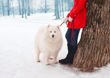 Owner and white Samoyed dog near tree in the winter. Park Royalty Free Stock Image