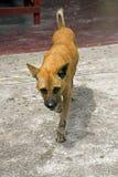 Ownerless собака Стоковые Фотографии RF