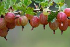 Owoc agrest Zdjęcie Stock