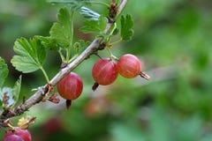 Owoc agrest Zdjęcia Stock