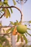 Owoc Alstonia scholaris 01 Zdjęcia Royalty Free