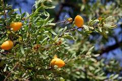 Owoc Argan drzewo Zdjęcia Royalty Free